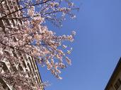 2011sakura02.jpg